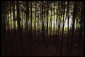 Primary view of object titled '[Bamboo Trees]'.