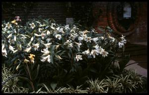 Primary view of object titled '[Hampton Court Garden]'.