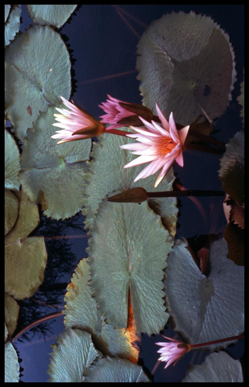 [Water lilies]                                                                                                      [Sequence #]: 1 of 1