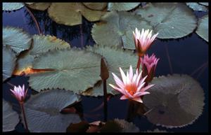Primary view of object titled '[Water lilies]'.