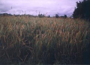 Photograph of a rice paddy