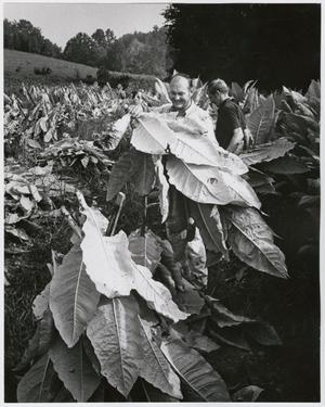 Primary view of object titled '[James Andrews Harvesting Tobacco]'.
