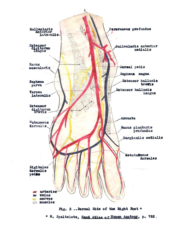 Fantastic Veins In Foot Photos - Anatomy And Physiology Biology ...