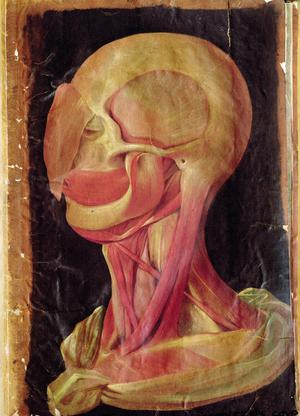 Anatomical Drawing of the Human Head
