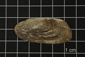 Primary view of object titled 'Popenaias popei, Specimen #1455'.