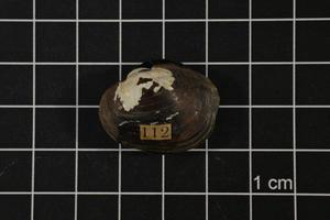 Primary view of object titled 'Obovaria jacksoniana, Specimen #1504'.