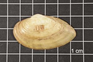 Primary view of object titled 'Truncilla macrodon, Specimen #1508'.