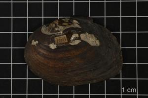 Primary view of object titled 'Fusconaia lananensis, Specimen #1530'.