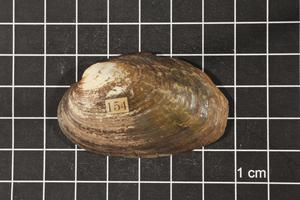 Primary view of object titled 'Quincuncina mitchelli, Specimen #1532'.