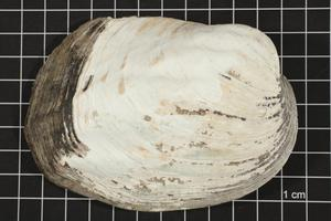 Primary view of object titled 'Amblema plicata, Specimen #7'.