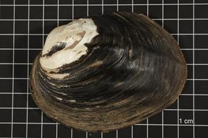 Primary view of object titled 'Amblema plicata, Specimen #22'.