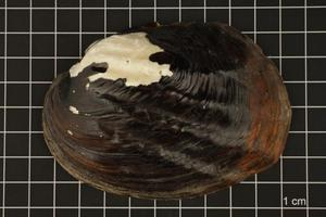 Primary view of object titled 'Amblema plicata, Specimen #37'.