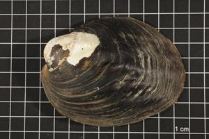 Primary view of object titled 'Amblema plicata, Specimen #40'.