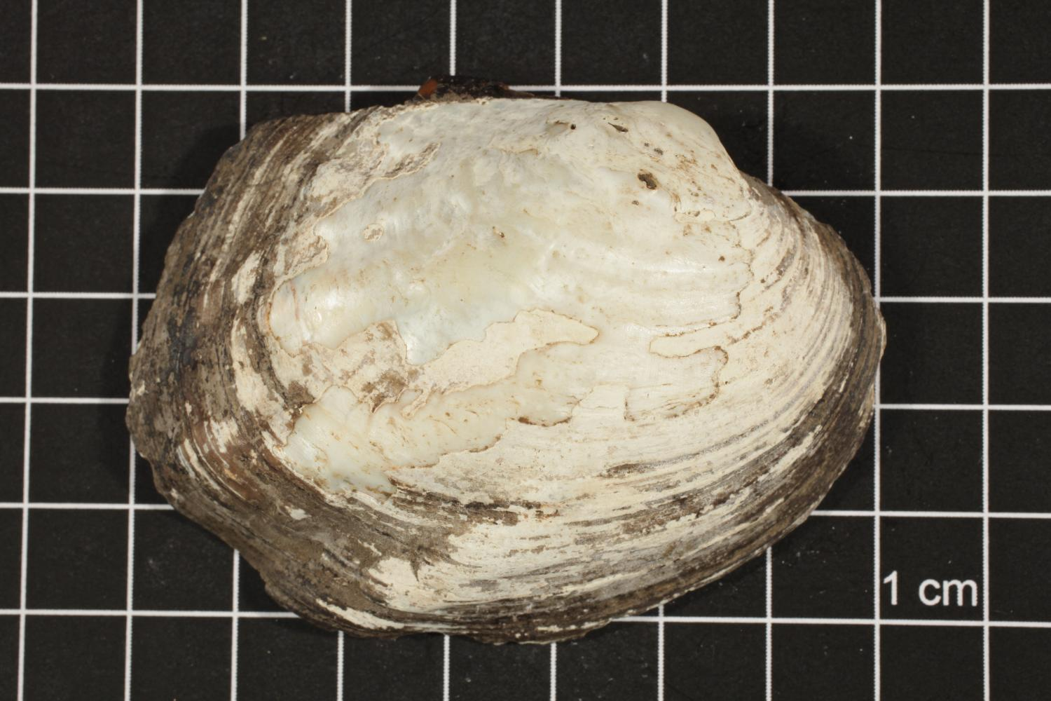 Amblema plicata, Specimen #49                                                                                                      [Sequence #]: 1 of 4