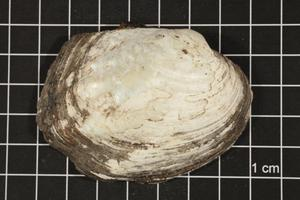Primary view of object titled 'Amblema plicata, Specimen #49'.