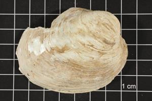 Primary view of object titled 'Amblema plicata, Specimen #56'.