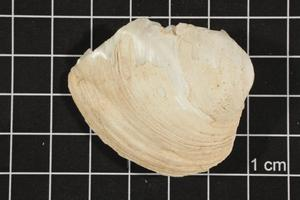 Primary view of object titled 'Amblema plicata, Specimen #62'.