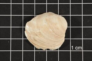 Primary view of object titled 'Amblema plicata, Specimen #63'.