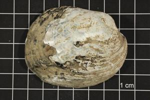 Primary view of object titled 'Amblema plicata, Specimen #65'.