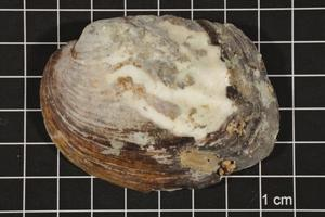 Primary view of object titled 'Amblema plicata, Specimen #78'.