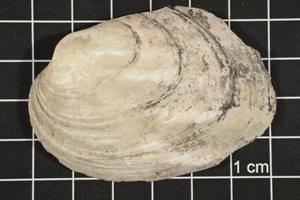 Primary view of object titled 'Amblema plicata, Specimen #89'.