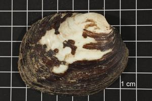 Primary view of object titled 'Amblema plicata, Specimen #114'.