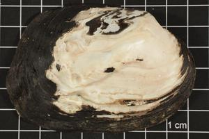 Primary view of object titled 'Amblema plicata, Specimen #131'.