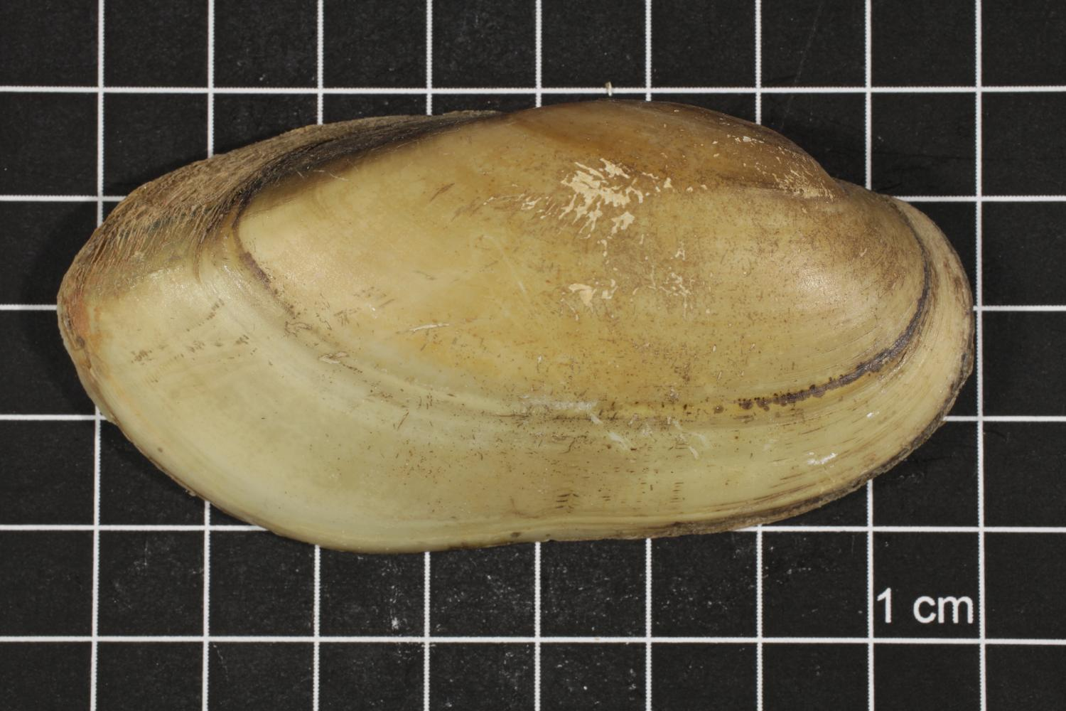 Lampsilis teres, Specimen #297                                                                                                      [Sequence #]: 3 of 6