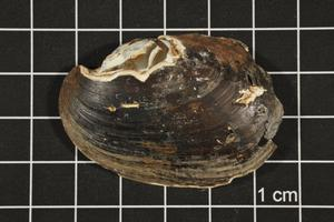 Primary view of object titled 'Lampsilis hydiana, Specimen #1571'.