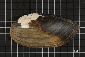 Primary view of object titled 'Lampsilis teres, Specimen #299'.