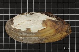 Primary view of object titled 'Lampsilis teres, Specimen #1576'.