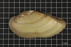Primary view of object titled 'Lampsilis teres, Specimen #1579'.