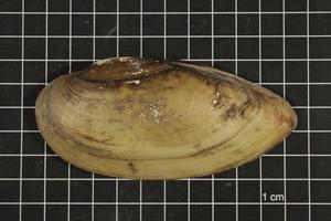 Primary view of object titled 'Lampsilis teres, Specimen #315'.