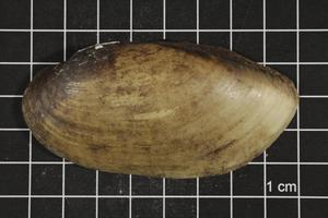 Primary view of object titled 'Lampsilis teres, Specimen #317'.