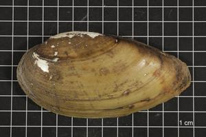 Primary view of object titled 'Lampsilis teres, Specimen #321'.