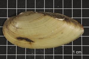 Primary view of object titled 'Lampsilis teres, Specimen #324'.