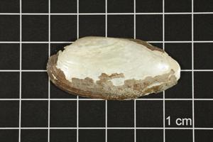 Primary view of object titled 'Lampsilis teres, Specimen #268'.