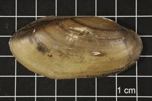 Primary view of object titled 'Lampsilis teres, Specimen #359'.