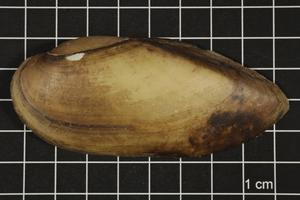 Primary view of object titled 'Lampsilis teres, Specimen #380'.