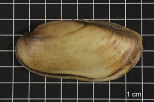 Primary view of object titled 'Lampsilis teres, Specimen #384'.