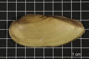 Primary view of object titled 'Lampsilis teres, Specimen #385'.