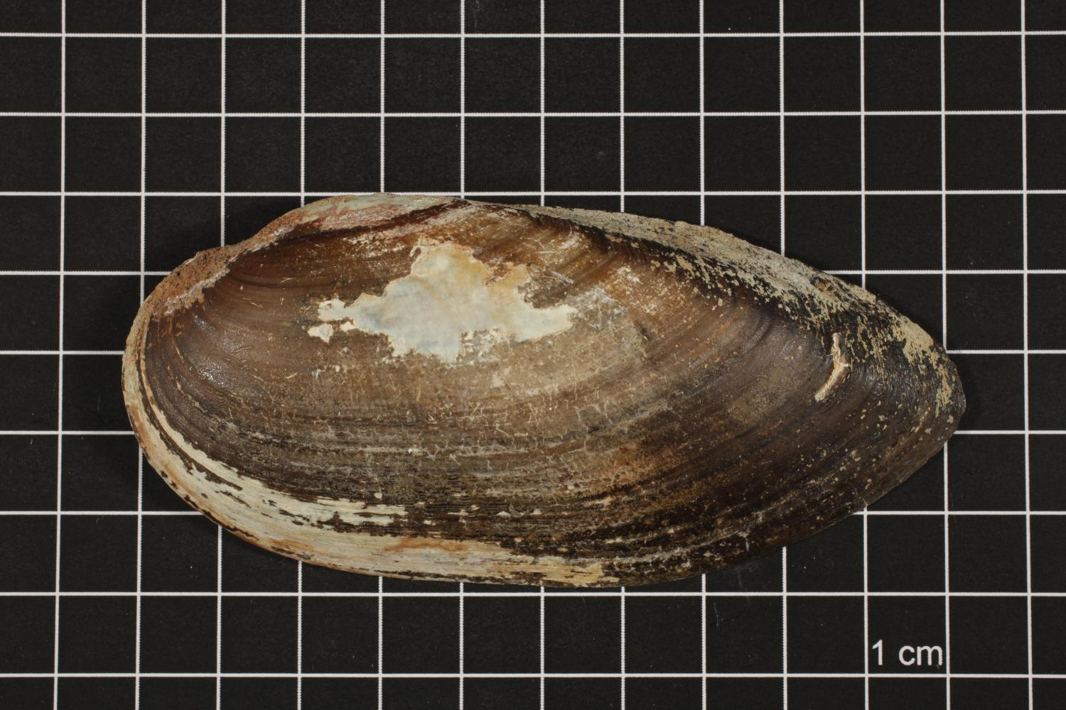 Lampsilis teres, Specimen #386                                                                                                      [Sequence #]: 1 of 6