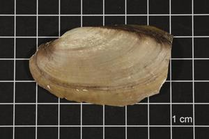 Primary view of object titled 'Lampsilis teres, Specimen #389'.