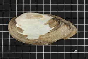 Primary view of object titled 'Lampsilis teres, Specimen #282'.