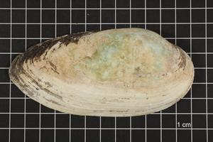 Primary view of object titled 'Lampsilis teres, Specimen #398'.