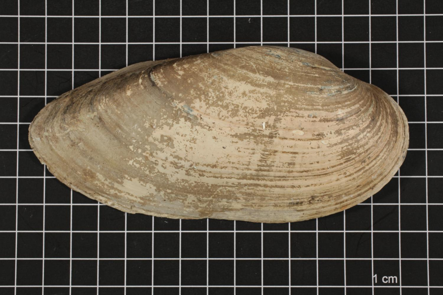 Lampsilis teres, Specimen #412                                                                                                      [Sequence #]: 3 of 6