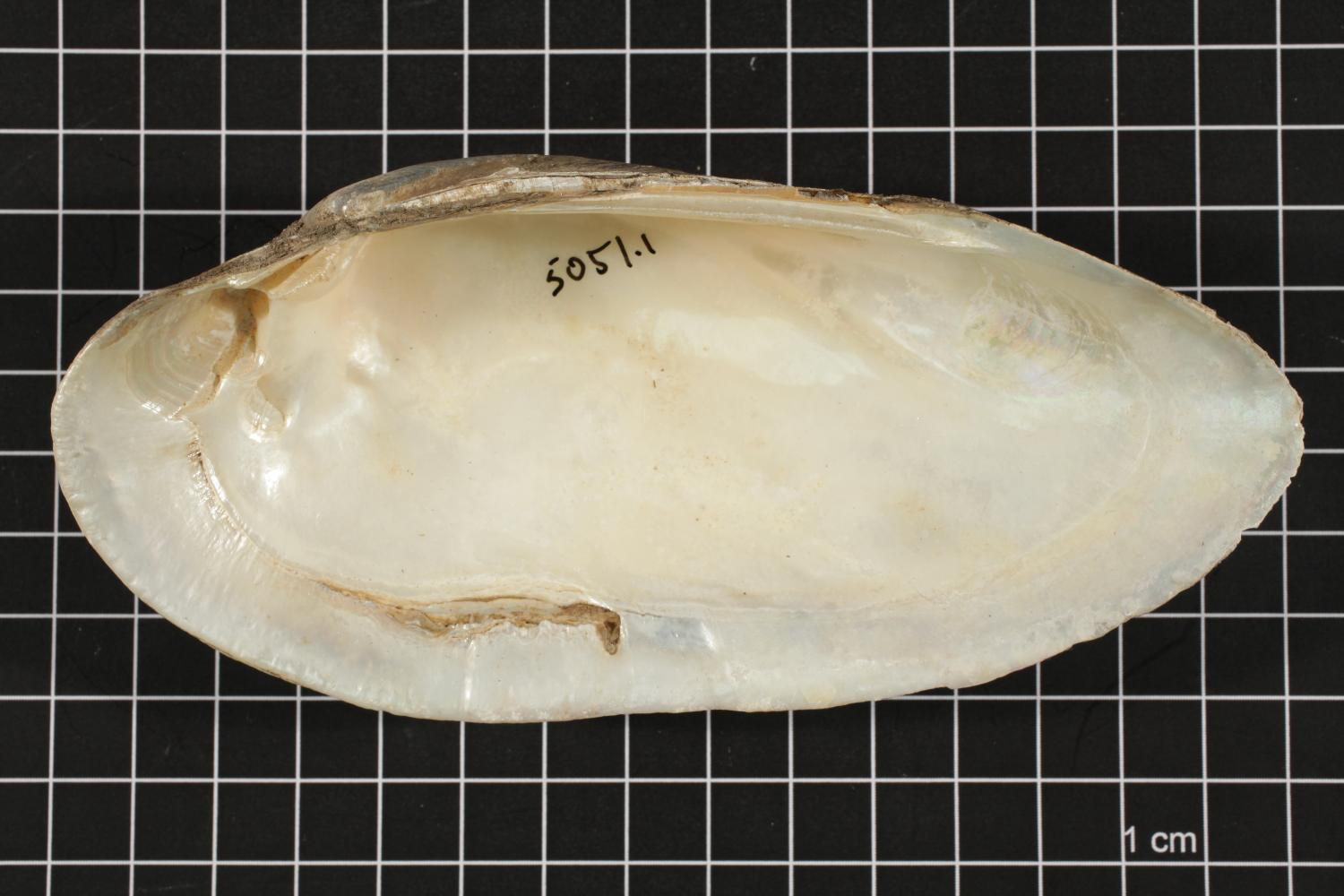 Lampsilis teres, Specimen #412                                                                                                      [Sequence #]: 4 of 6