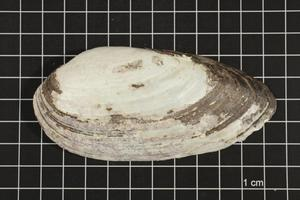 Primary view of object titled 'Lampsilis teres, Specimen #421'.