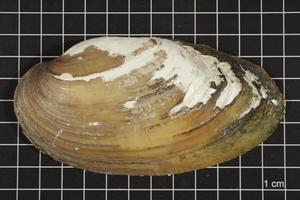 Primary view of object titled 'Lampsilis teres, Specimen #425'.