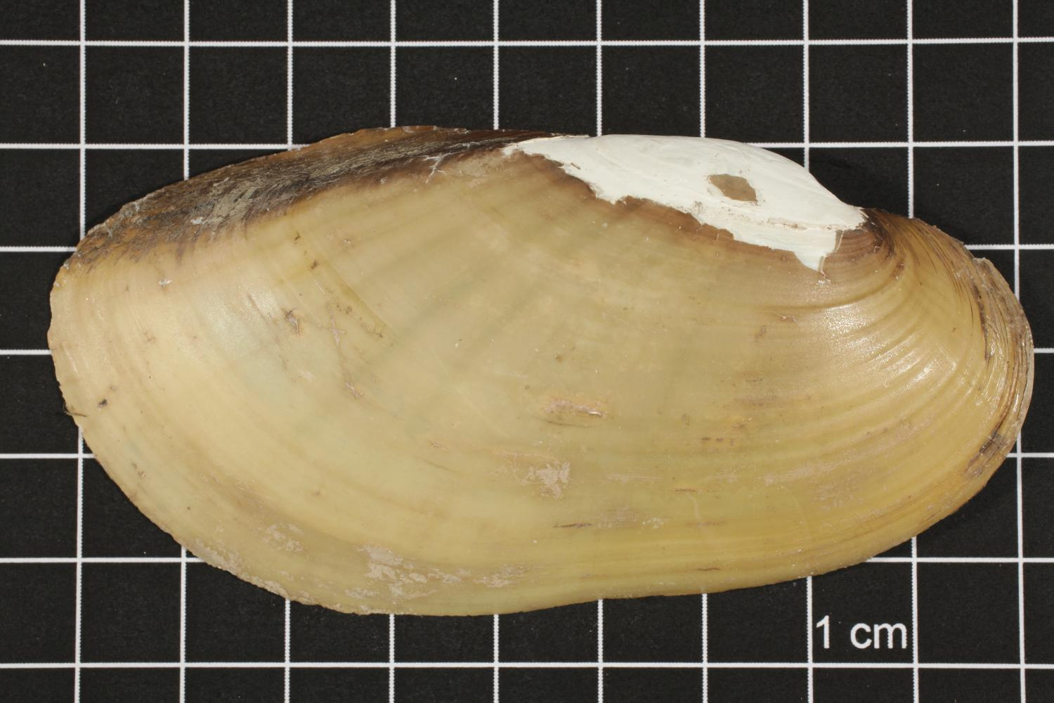 Lampsilis teres, Specimen #427                                                                                                      [Sequence #]: 1 of 4